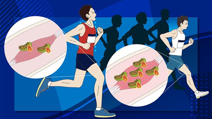 糖質や脂質を有効活用! ミトコンドリア機能を高めて持久力UP!